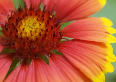 Blanket Flower, Goblin