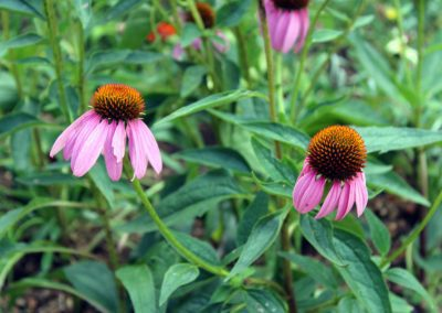 Coneflower, Magnus Purple