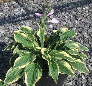Hosta, Wide Brim